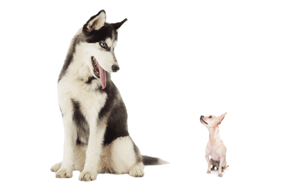 huskies, What is the Best Pet Shampoo for Huskies?, Vetericyn Animal Wellness