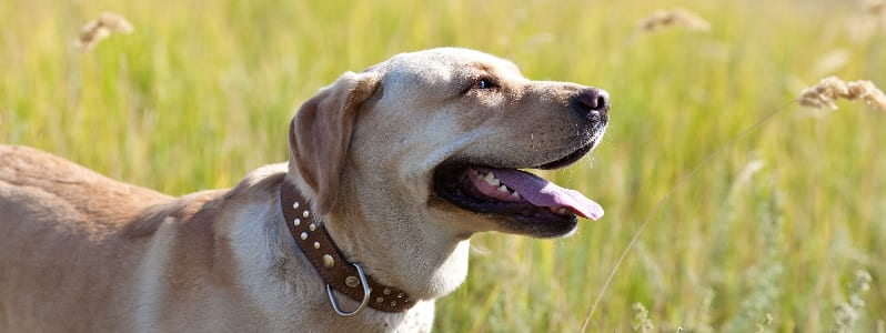 labrador, What Is the Best Pet Shampoo for Labrador Retrievers?, Vetericyn Animal Wellness