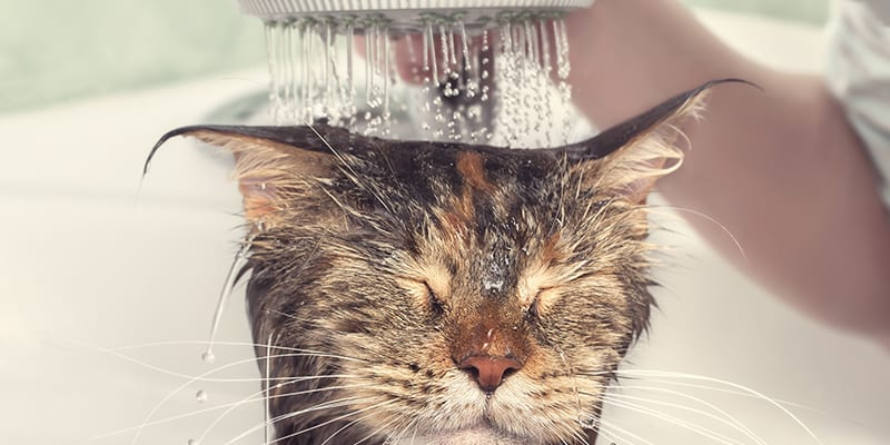 cat, Yes, You Can Bathe a Cat, Vetericyn Animal Wellness