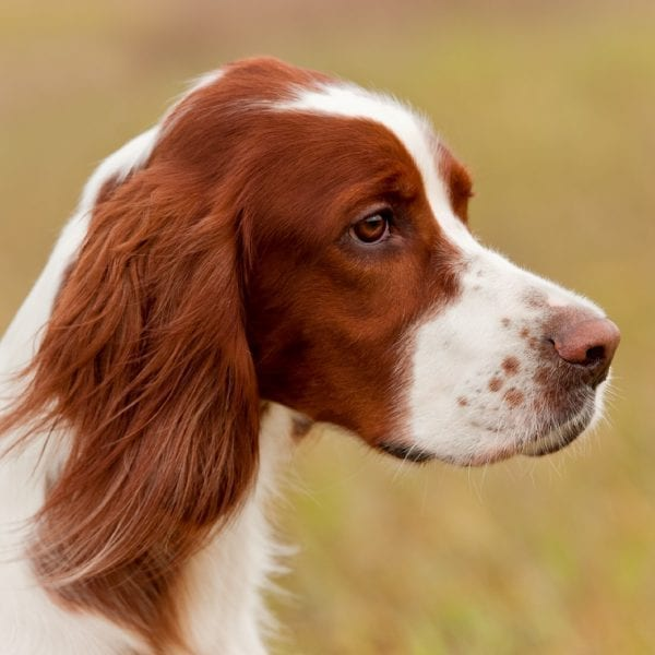 irish dog, The 9 Official Irish Dog Breeds to Help You Celebrate St. Patrick's Day, Vetericyn Animal Wellness