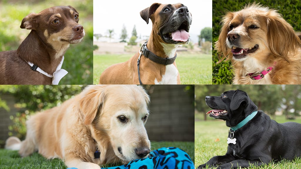 breed, These are the Top Breeds Found in Mixed-Breed Dogs, Vetericyn Animal Wellness