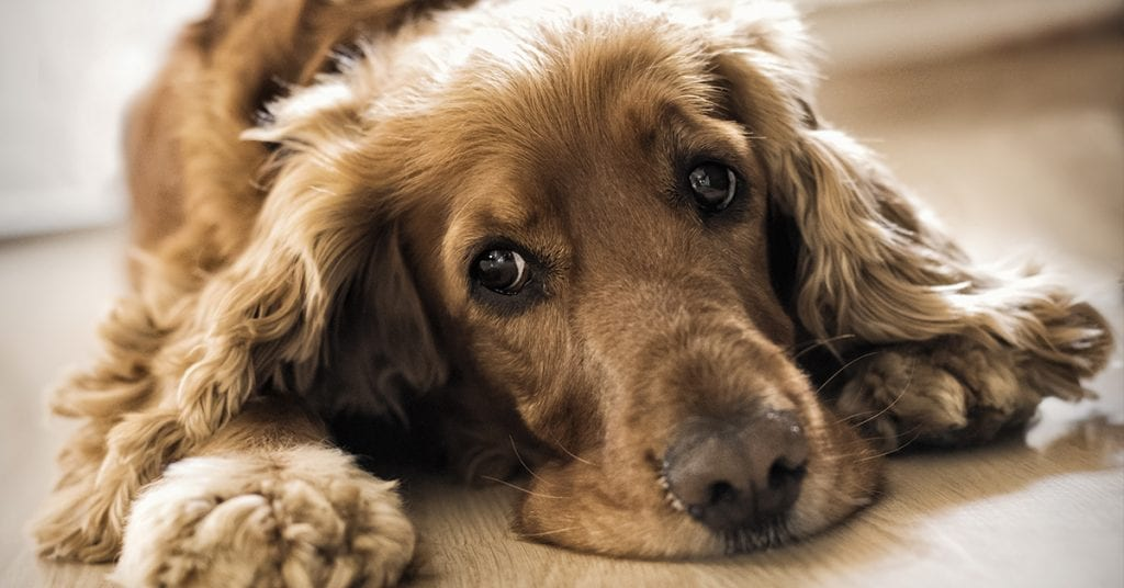 How to Care for Yeast Infections in Dogs