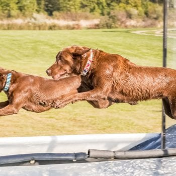 , Meet the Labrador Retrievers Flying High in Canine Aquatic Sports!, Vetericyn Animal Wellness