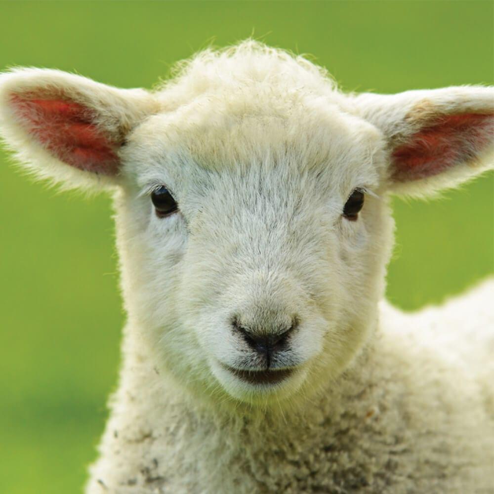 , Livestock Care, Vetericyn Animal Wellness, Vetericyn Animal Wellness