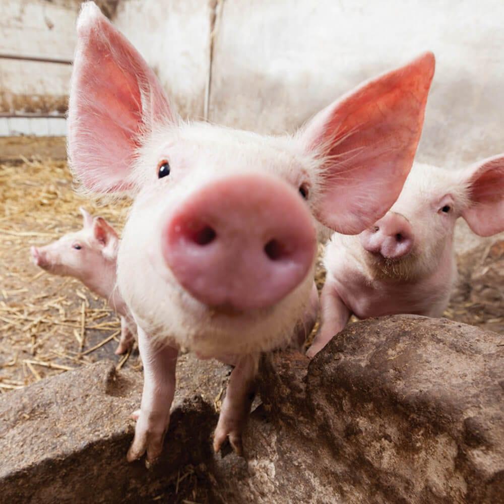 , Livestock Care, Vetericyn Animal Wellness