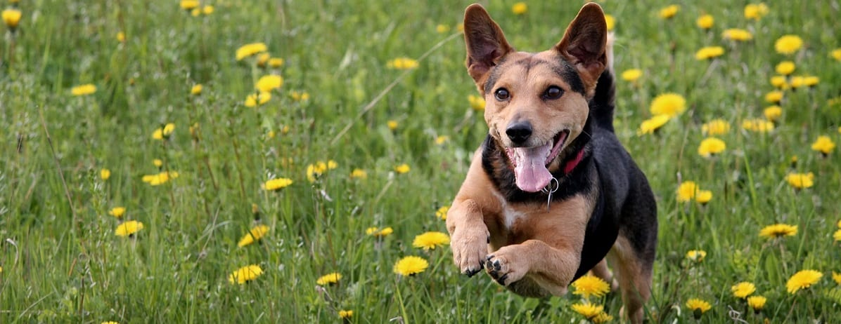 , Why Joint Health for Dogs is Important, Vetericyn Animal Wellness