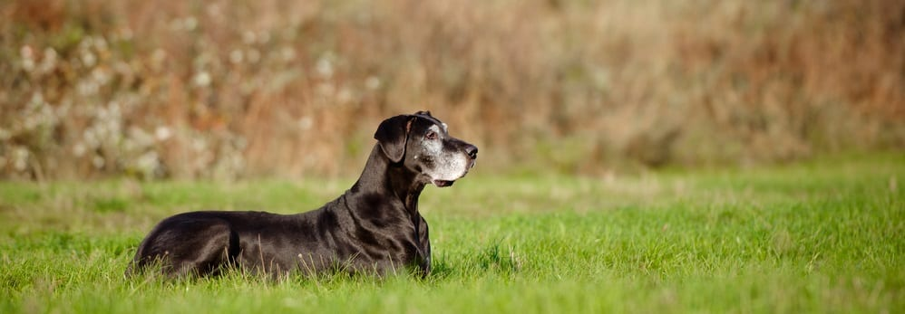 , How to Help Mobility in Senior Dogs, Vetericyn Animal Wellness, Vetericyn Animal Wellness