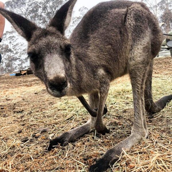, Australian Brushfire Relief, Vetericyn Animal Wellness, Vetericyn Animal Wellness