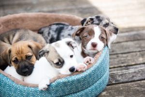 Little of puppies sitting in a basket