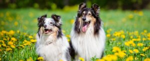 Two collies in the meadow