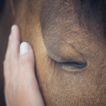 Close up portrait of a brown horse with his eyes shut, a female hand stroking his head.