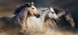 Four horses with long mane portrait run gallop in desert dust