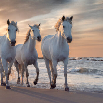 Herd of white horses running through the water on a sand beach