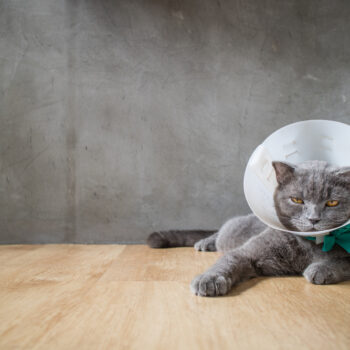 sick british short hair cat with funnel cone collar prevent him scratch his wound