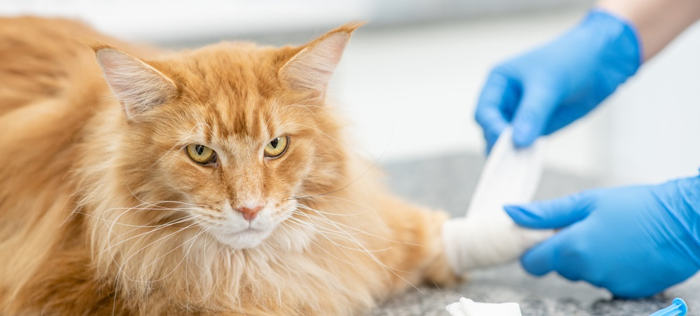 Adult maine coon cat having its paw bandaged by the veterinarian