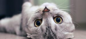 Scottish Fold cat lying on the back