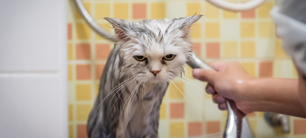 Wet Persian chinchilla cat sitting on a bathtub looking very grumpy