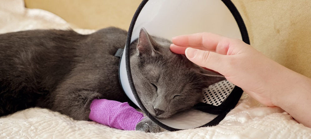 female hand strokes a sleeping gray cat with a veterinary collar and bandaged paw