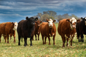 Cattle raisin in the countryside