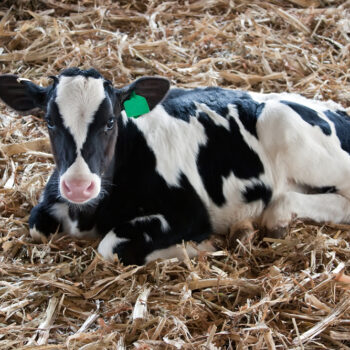Black and white calf laying on straw