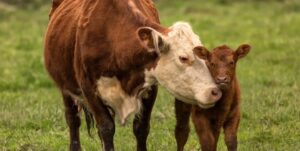 Brown momma Cow and Calf