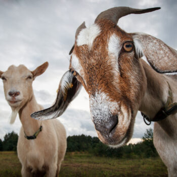 Two goats on on a meadow looking at thelook at the camera