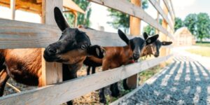 Brown goats standing in wooden shelter and looking at the camera