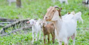 Brown and white goats on a pasture