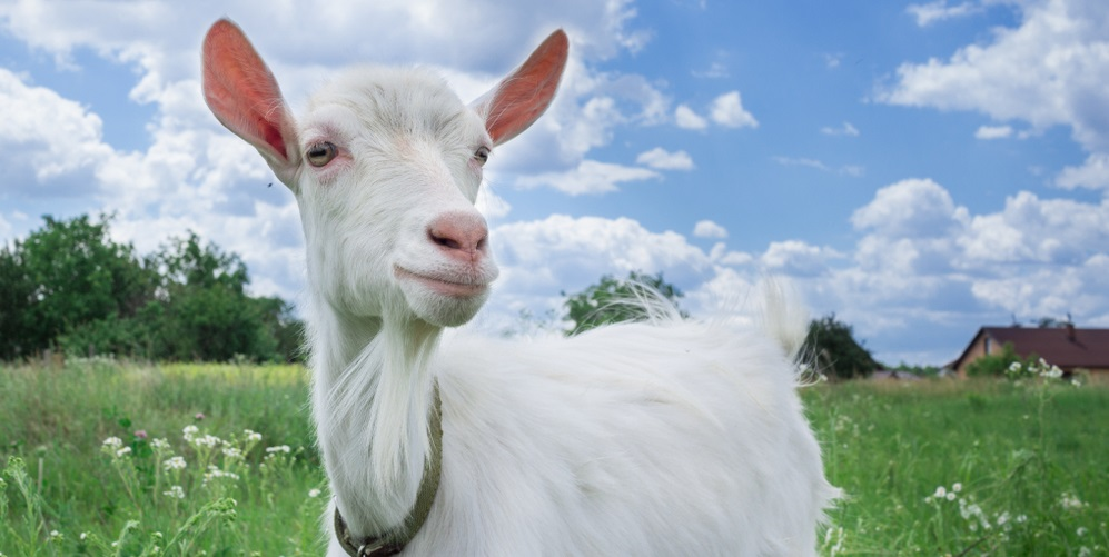 White goat on a meadow with white clouds in hte background