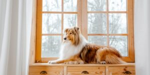 The Rough Collie dog at home sitting next to a large window