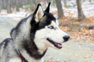 young siberian husky looking away