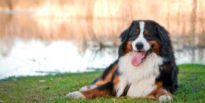 Bernese mountain dog lying near the lake