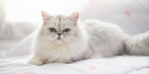 Cute persian cat lying on the bed under sunlight