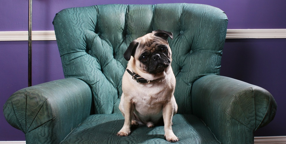 A pug dog sits on a green overstuffed chair in front of a purple wall. Cocks his head in a cute manner.