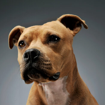 Portrait of an adorable American Staffordshire Terrier looking curiously - studio shot, isolated on grey background.