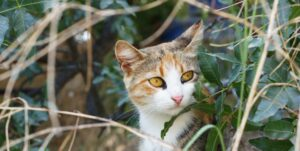 A three-colored cat sits in the bushes and listens to something