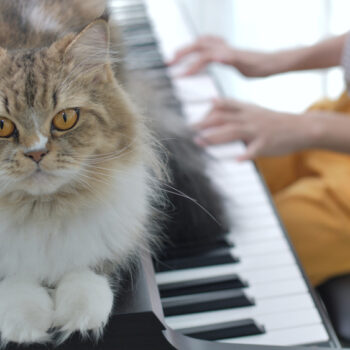 Lovely Persian cat listening to Asian girl playing piano