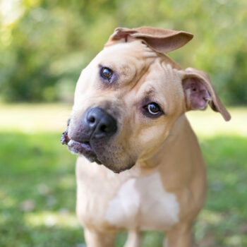 A Pit Bull Terrier mixed breed dog with floppy ears listening with a head tilt