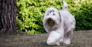 Young female Bearded Collie dog with white and fur walking in the garden