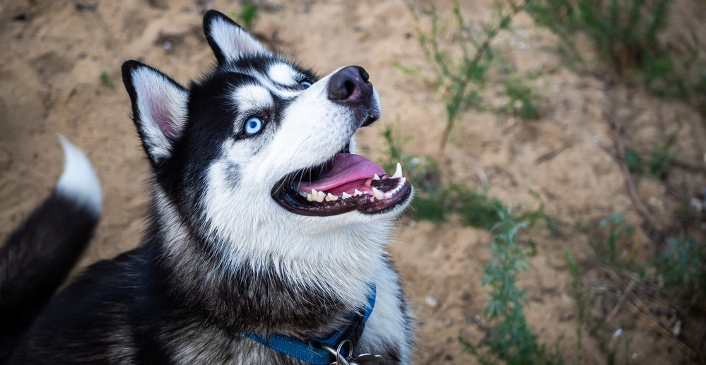 A black and white Siberian husky walking on a summer field