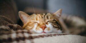 Funny ginger white cat sleeping ona blanket