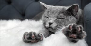 Gray british cat sleeps lying on the couch stretching its paws forward