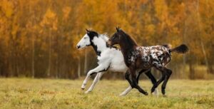 Two foals playing in the field in autumn